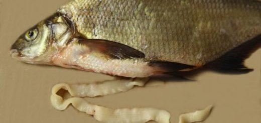 Как выглядит солитёр в рыбе?