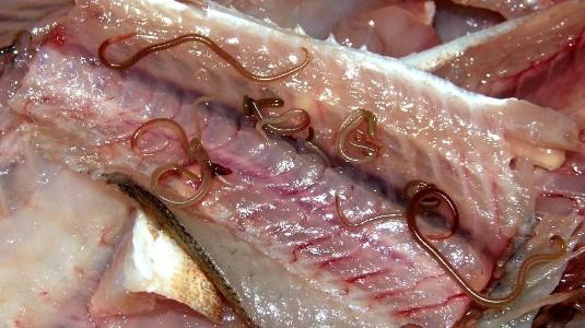Можно ли заразиться паразитами от селедки
