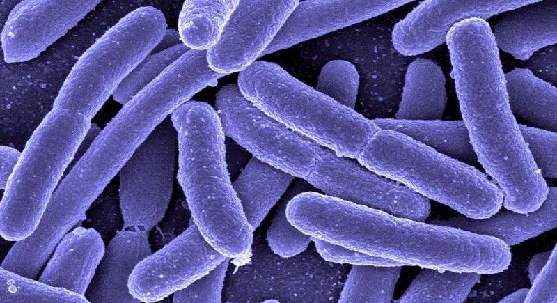 Микроорганизмы клебсиеллы