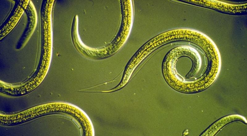 паразиты в организме очищение народными средствами