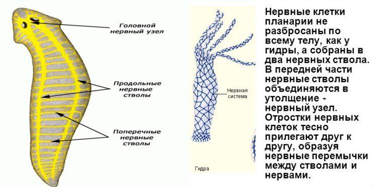 Нервная система червя планарии