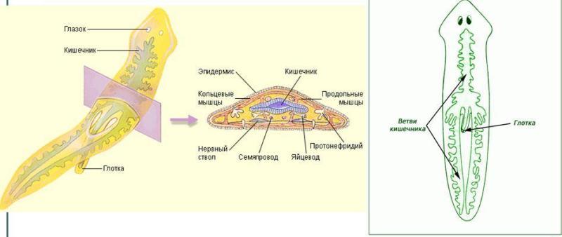 Пищеварительня система планарии