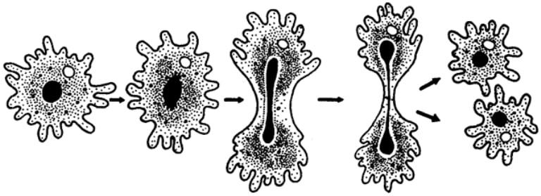 Размножение амебы