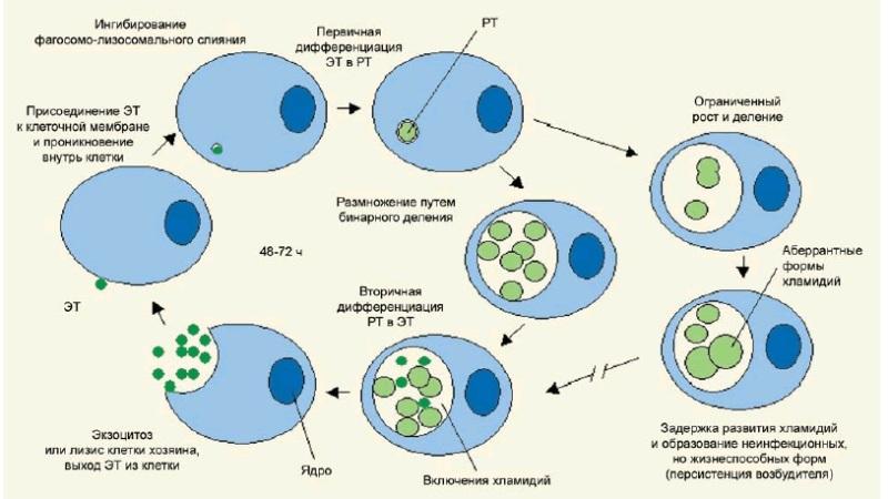 Процесс развития хламидий
