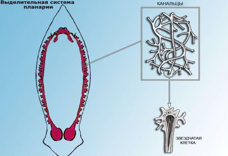 Выделительная система червя планарии