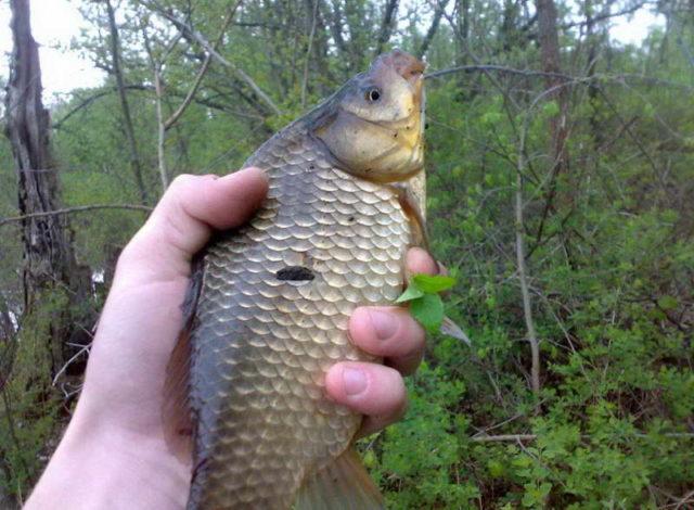 Глисты в рыбе