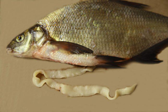 солитёр в рыбе