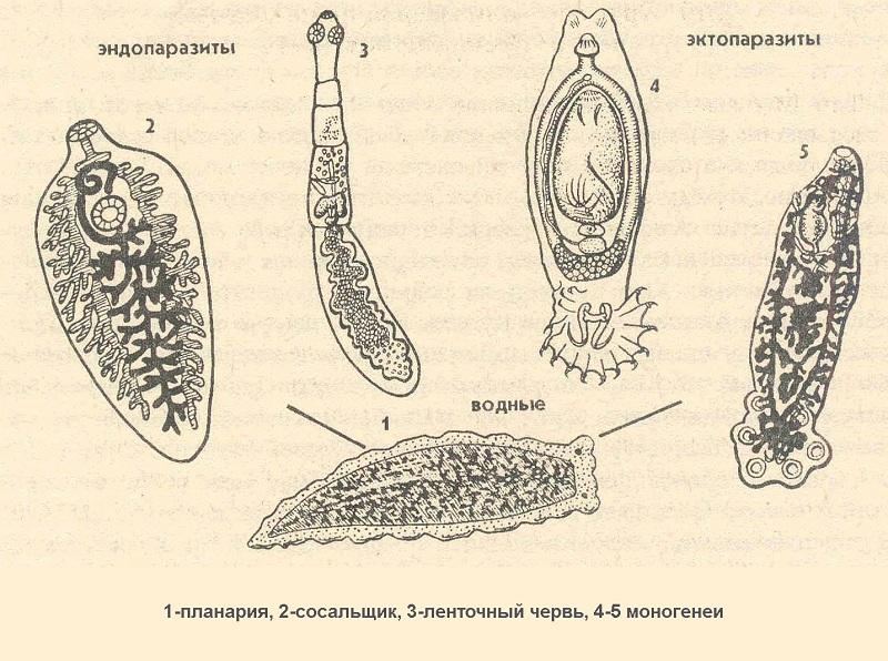 виды паразитов в организме человека фото